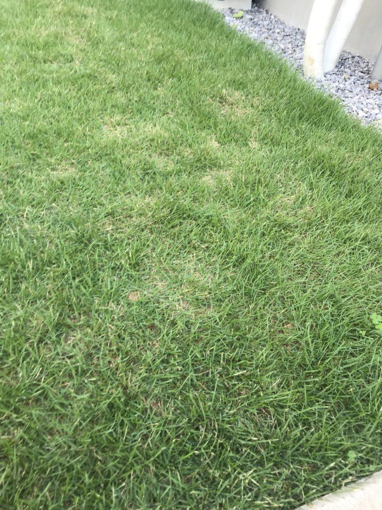 芝刈り前の芝生。やや寄りで撮った画像。