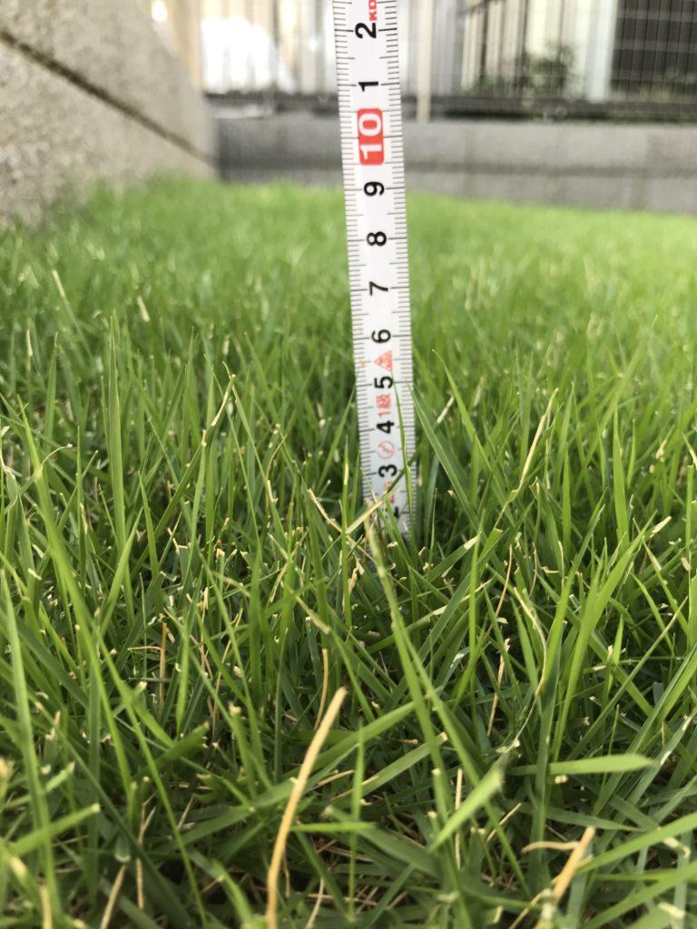 芝刈り前の芝アップ、メジャー付き。草丈50mmくらい。