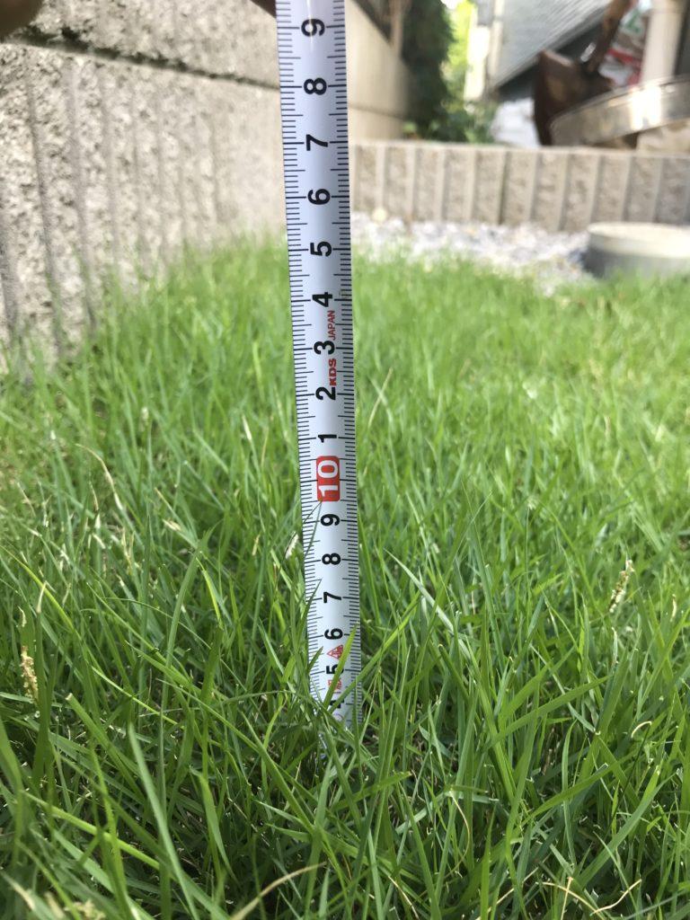 芝刈り前の芝アップ、メジャー付き。草丈90〜100mmくらい。