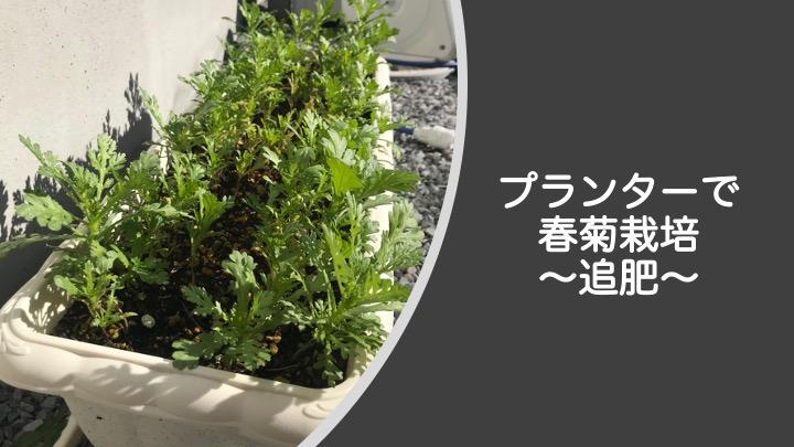 プランターで春菊栽培、追肥