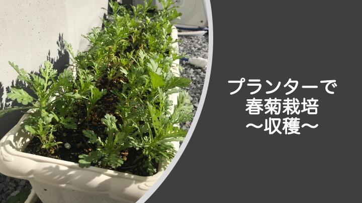 プランターで春菊栽培、収穫