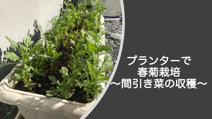 プランターで春菊栽培、間引き菜の収穫