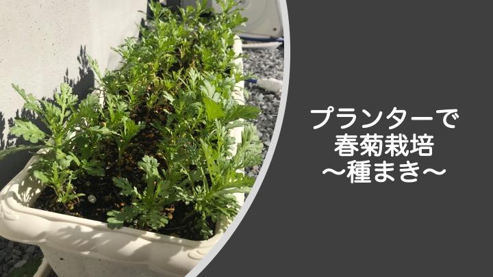 プランターで春菊栽培、種まき編