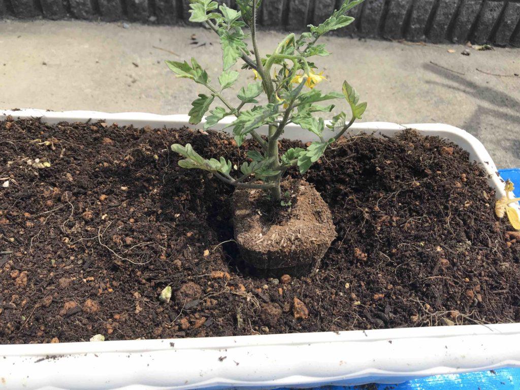 苗の植え付け
