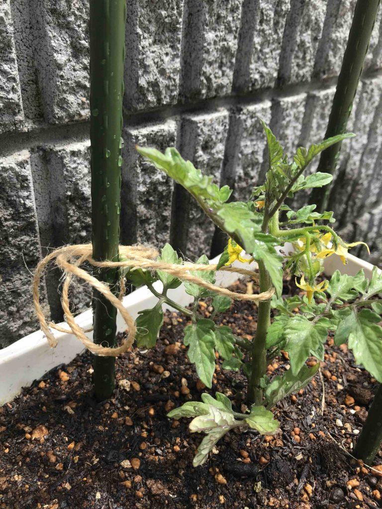 トマトの苗を支柱に結ぶ